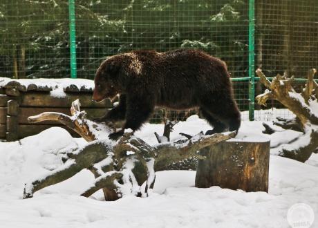 W ośrodku rehabilitacji niedźwiedzi brunatnych na ukraińskim Zakarpaciu  | fot. © Asia Filipkowska