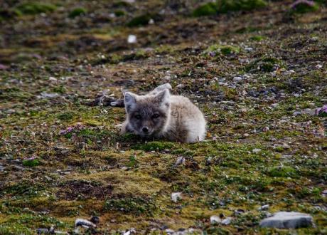 Lis polarny koło zabudowań letniej stacji polarnej. Osada Calypsobyen fot. © Małgosia Busz, Barents.pl