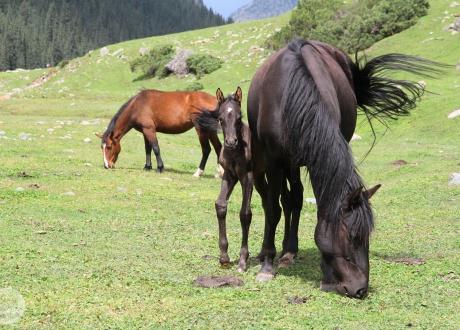 Półdzikie konie. Kirgistan w relacji Oli i Piotrka, pilotów Barents.pl
