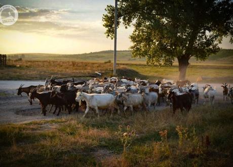 Stado schodzi z pastwiska gdzieś pośród urokliwych mołdawskich wiosek. Pyszna bryndza powstaje dzięki nim. © Agnieszka Jagiełło dla Barents.pl