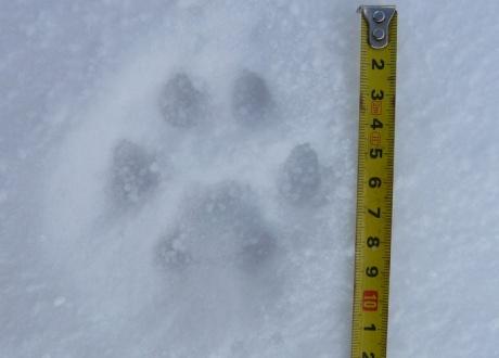 Śladami rysia i wilka w Beskidzie Czesko-Słowackim fot. © Friends of the Earth Czech Republic